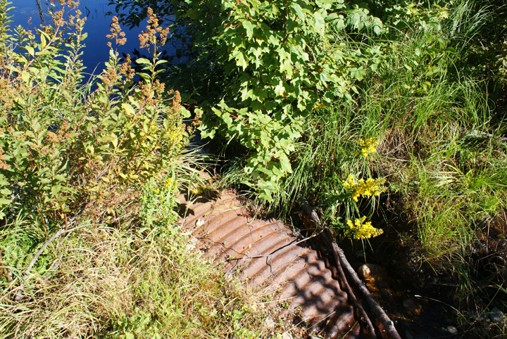 Riparian plants and grasses nearly cover up a rusty culvert sitting next to a waterbody.
